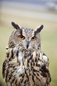foto of owls  - Eagle Owl - JPG