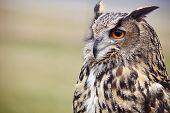 stock photo of rear-end  - Eagle Owl - JPG