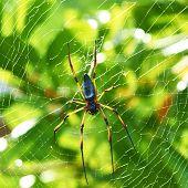 foto of orbs  - Giant wood spider  - JPG