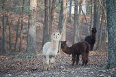 image of wander  - Herd of llamas wanders through the woods  - JPG