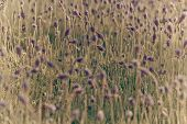 pic of lavender field  - Closeup of purple lavender flowers in the field