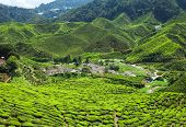 picture of cameron highland  - Tea plantation in the mountains of Cameron Highlands Malaysia - JPG