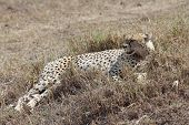 pic of cheetah  - african cheetah is relaxing in the savanna during the morning - JPG
