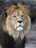 picture of lions-head  - Porrtait of a the head of a male Lion - JPG