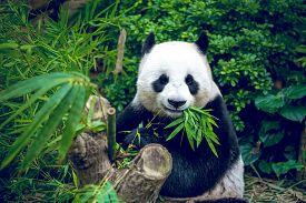 picture of panda  - Hungry giant panda bear eating bamboo - JPG