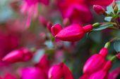 image of salvia  - Flowers of fuchsia or Onagraceae Salvia Splendens Scarlet Sage - JPG