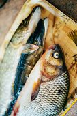image of freshwater fish  - Raw Freshwater Fish Carp And Pikes Lies On The Kitchen Tray - JPG