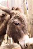 picture of headstrong  - donkey in a fence of the farm - JPG