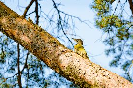image of pine-needle  - European green woodpecker  - JPG