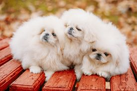 pic of sitting a bench  - Three White Puppies Pekingese Pekinese Peke Whelps Puppy Dog Sitting On Wooden Bench In Autumn Park - JPG
