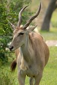 pic of eland  - An African Eland Antelope grazes in the forest looking for food.