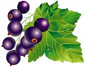 Vector image of black-currant