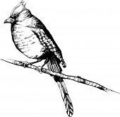 hand-draw vector bird -  vintage bird illustrations