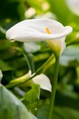 pic of easter lily  - Beautiful white lilies closeup background - JPG