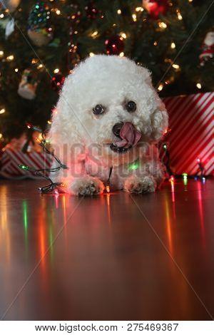 poster of Christmas Dog. Bichon Frise Dog. Bichon Frise dog. Bichon Dog with Christmas lights. Isolated on bla