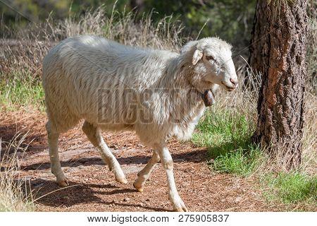 Cute White Sheep Ovis Aries