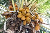 Coconuts Brown On Tree Coconut Palm, Brown King Coconut Young In Garden Plantation, Coconut Yellow B poster