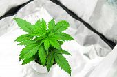 Cannabis Plant Growing. Growing Marijuana At Home Indoor. Cultivation Growing Under Led Light. Veget poster