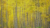 foto of colorado high country  - Golden aspens on Kebler Pass in the Colorado mountains - JPG