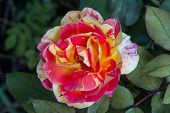 Beautiful Rose Flower In Garden. Roses In Tropical Garden. Red,oange Yellow Pink Rose. Pink Rose Bac poster