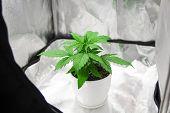 Marijuana In Grow Box  Tent. Growing Marijuana At Home Indoor. Vegetation Of Cannabis Growing. Culti poster