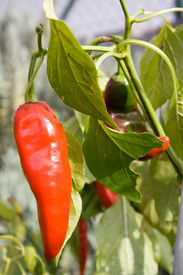 picture of red hot chilli peppers  - Chili Peppers hanging in the bush outdoors - JPG