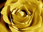 Intensive Yellow Rose poster