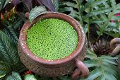 duckweed plant floating in water pot