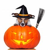 stock photo of animal teeth  - halloween pumpkin witch dog with a broom - JPG
