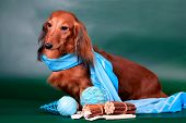 stock photo of long hair dachshund  - Long haired dachshund sitting with decoration on green background - JPG