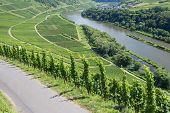 pic of moselle  - Vineyards along the river Moselle in Germany - JPG