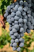 pic of merlot  - Merlot grapes ripening on the vine in the Umpqua Valley of Southern Oregon - JPG