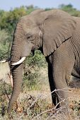 stock photo of elephant ear  - Kruger park South Africa - JPG