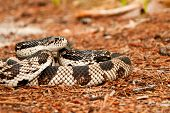 foto of harmless snakes  - A gravid female Northern Pine Snake coiled in the leaf litter - JPG