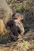 picture of anubis  - A baby olive baboon  - JPG