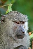 stock photo of anubis  - Portrait of a young olive baboon  - JPG