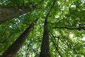 foto of canopy  - Peaceful serene forest scene in the shade at the base of large tall tulip trees with green deciduous leaves - JPG