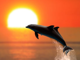 picture of aquatic animals  - Two dolphins swimming in sunset with studio lighting - JPG
