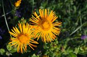 Yellow Flowers - Horseheal (inula)