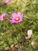 foto of cosmos flowers  - Close up Cosmos Flowers  - JPG