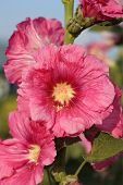 stock photo of hollyhock  - the Pink hollyhock  - JPG