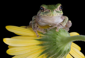 image of baby animal  - A baby gray tree frog is sitting on a yellow flower - JPG