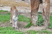 picture of cougar  - puma or cougar or mountain lion in captive environment - JPG