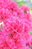 stock photo of azalea  - Satsuki azalea  - JPG
