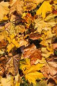 stock photo of fallen  - Colorful background of fallen autumn leaves of maple  - JPG