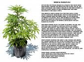 image of mary jane  - Medical Marijuana plant in a black plastic 1 gallon grow pot - JPG