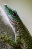 picture of gekko  - Close up shot of the gekko on the tree branch in a forest - JPG