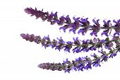 stock photo of clary  - Salvia pratensis meadow clary  - JPG