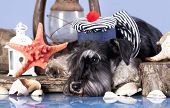 stock photo of seeing eye dog  - young schnauzer  in hat sailor - JPG