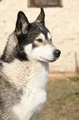 picture of malamute  - Gorgeous Alaskan Malamute in the garden in spring - JPG